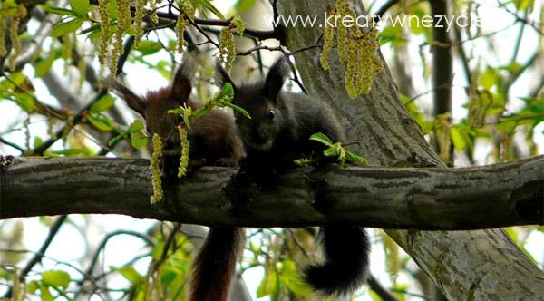 Czarna wiewiórka Żegiestow