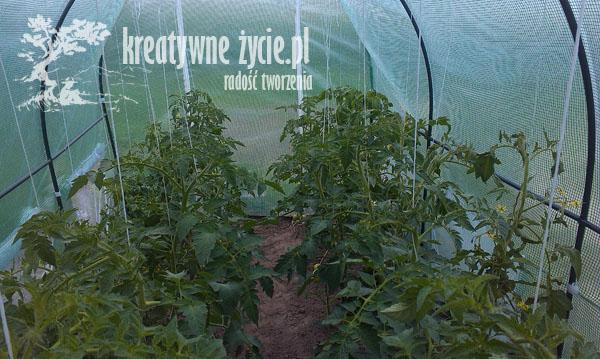 Uprawa pomidorów w tunelu