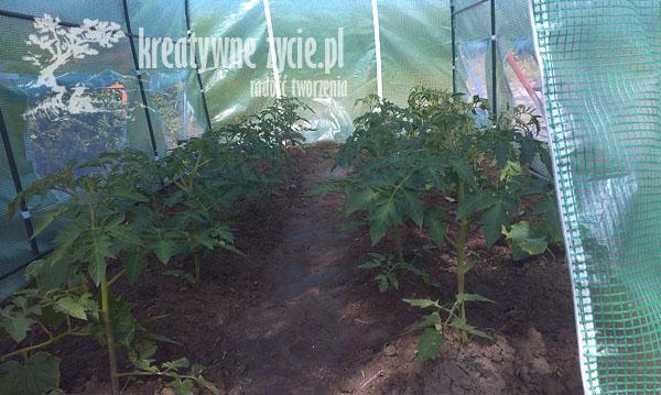 Pomidory w tunelu