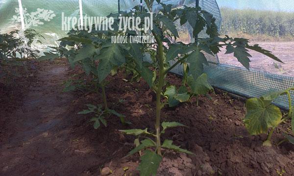 Upraw pomidorów